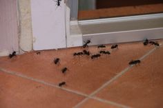 Como Eliminar Las Hormigas – Veneno Casero – 100% Efectivo