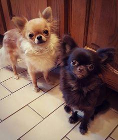 Black Chihuahua, Chihuahua Love, Chihuahuas, Cute Dogs, Allie, Doggies, Animals, Babies, Board