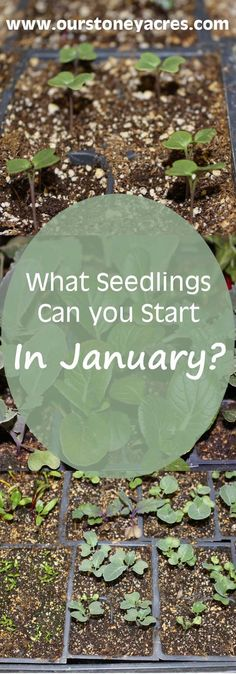 What seedlings can you start in January?