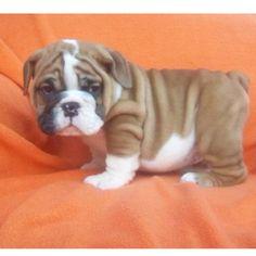"""What are YOU lookin' at??"" - Mini English Bulldog. so cute!!"