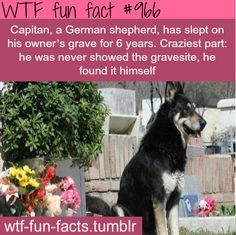 Capitan, a German Shepard, has slept on his owner's grave for 6 years. Craziest part: he was never showed the grave site, he found it himself.