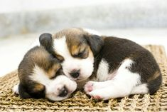 Are you interested in a Beagle? Well, the Beagle is one of the few popular dogs that will adapt much faster to any home. Cute Beagles, Cute Puppies, Cute Dogs, Dogs And Puppies, Fun Dog, Puppy Find, Puppy Day, Dog Pictures, Animal Pictures