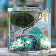 OMG I want a Marimo ball so bad.  Wonder if my fish would eat it if I put one in the aquarium...?