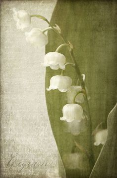 lily of the valley by ania