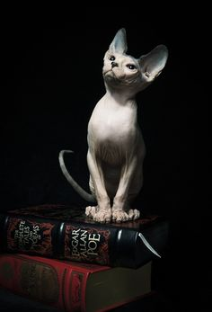Sphinx cat and books