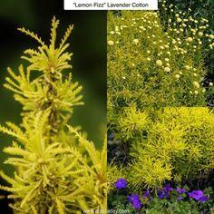 Lemon Fizz Lavender Cotton Santolina virens Lemon Fizz Type: Perennial Exposure…