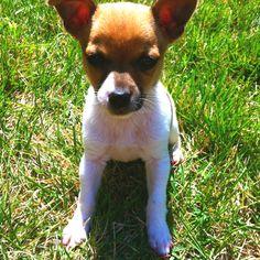 rat terrier puppies craigslist Cute Baby Animals Rat