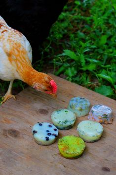 Chicken eating frozen suet cakes