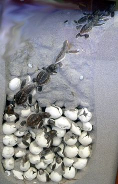87. Watch a nest of baby sea turtles   making their way to the ocean.