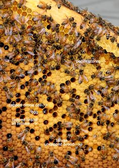 """Enlarge this to see the various stages of developement on a frame & """"Evidence of a Queen"""". There must be signs of eggs, larvae & capped brood-proof that the Queen is alive. Bee Hive Plans, Raising Bees, Garden Labels, I Love Bees, Bee Do, Bee Farm, Save The Bees, Bee Happy, Whole Foods Market"""