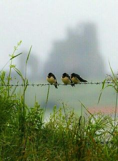 Three little birds.