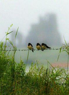 Three little birds.