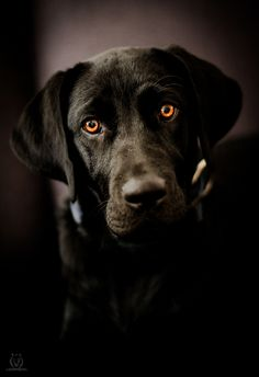 Black Lab-love the eyes