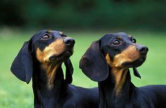 I got double vision. Dachshund