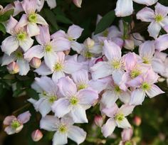 CLEMATIS MONTANA white or darker pinks