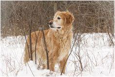 Riley #golden #retriever #snow #outdoors #winter #gundog