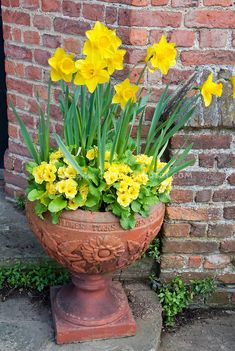 Spring container garden of yellow Narcissus daffodils with yellow perennial primroses in terracotta pot against brick wall for spring contai. Container Water Gardens, Container Flowers, Container Plants, Container Gardening, Yellow Perennials, Daffodils Planting, Garden Bulbs, Potted Garden, Garden Planters