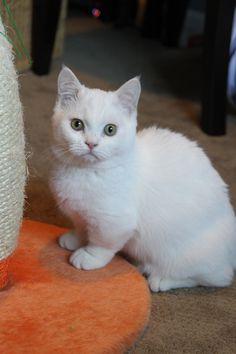 munchkin cat | Snowshoe Munchkin Cat | Funny Cat ...