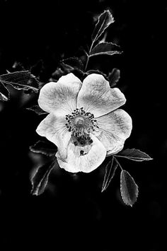 New Photography Noir Et Blanc Fleur Ideas Black And White Flowers, Black N White Images, White Art, Shades Of Black, Black And White Photography, Black Backgrounds, Nature Photography, Beautiful, Drawings