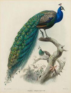Scientific Illustration Peacock Pavo Cristatus  (1872) by Joseph Wolf  (1820-1899)