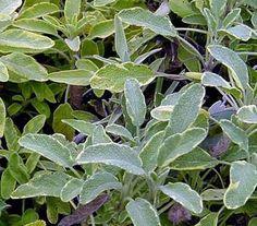 Organic Sage.