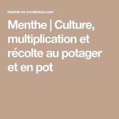 Menthe | Culture, multiplication et récolte au potager et en pot