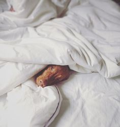 Vizsla - they are such duvet dogs!