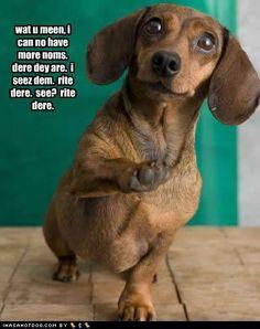 wat u meen, i can no have more noms. dere dey are. i seez dem. see?wat u meen, i can no have more noms. dere dey are. i seez dem. see? Dachshund Funny, Dachshund Love, Funny Dogs, Daschund, Dachshund Rescue, Dachshund Gifts, Funny Animal Pictures, Funny Animals, Cute Animals