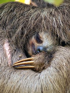 """Sloths need you! They may move slowly, but pygmy and maned sloth populations are quickly declining due to poaching, habitat loss and human interference. You can help by joining WWF's """"Adopt a Three-Toed Sloth"""" program."""
