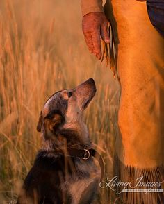 This cattle dog named Dawg look sup at her master Buster in the beautiful sunset light at the Flitner Ranch in northern Wyoming.