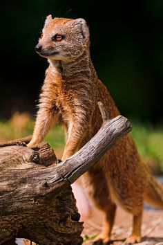 Mongoose almost standing