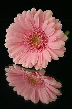 Olga is Sibiri Gerbera Flower, My Flower, Flower Art, Flower Power, Pink Gerbera, Amazing Flowers, Pretty Flowers, Pink Flowers, Flower Wallpaper
