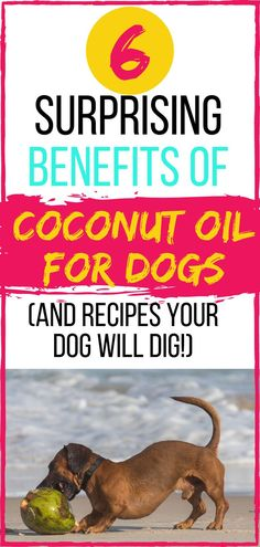 Is coconut oil good for dogs? You can use coconut oil for dogs to alleviate or heal many common health issues. Read this guide on the Benefits of Coconut Oil For Dogs and learn how to use it (including our favorite coconut oil dog treat recipes! Tiny Dog Breeds, Dog Breeds Little, Dog Training Videos, Best Dog Training, Brain Training, Dog Treat Recipes, Dog Food Recipes, Food Tips, Homemade Dog Toys