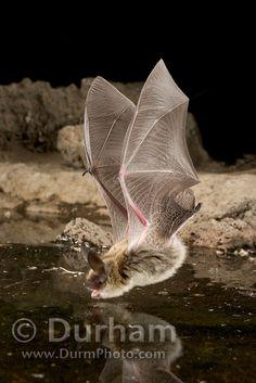 bat drinking