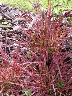 garden ornamental grasses on pinterest ornamental grasses pennisetum setaceum and pampas grass. Black Bedroom Furniture Sets. Home Design Ideas