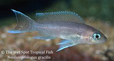 AquaBid.com - Item # fwcichlidst1470938961 - 6 Neolamprologus gracilis TR 1'' - Ends: Thu Aug 11 2016 - 01:09:21 PM CDT