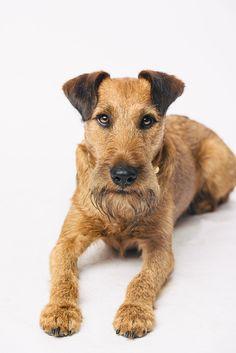 Irish Terrier Watson #pfotentick #fotoshooting #studio #shooting #dog #photography #irishterrier #terrier
