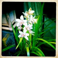 My white cymbidium orchids Cymbidium Orchids, Iphone Camera, Plants, Plant, Planets