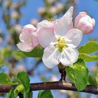 Apple tree blossom.  Did you know that a ornamental Crabapple tree and a fruit apple tree WILL pollinate each other? It was believed in the past that the only way to produce fruit was to have TWO pollinators.  Now, we have received reports from customers who have let us know differently. But, we believe that two fruits will produce a BETTER crop.