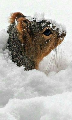 a squirrel peeking out from under the snow