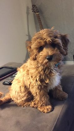 Henry Cavoodle via Brisbane 2016 Myoodle Dog