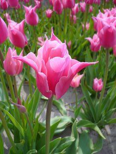 Tulips fields, May 2013