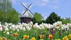 Dutch Tulip Festival in Holland Tulips Garden, Tulips Flowers, Colorful Flowers, Beautiful Flowers, Beautiful Gardens, White Tulips, Spring Flowers, Beautiful Places, Holland Michigan Tulip Festival