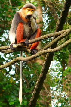Red-Shanked Douc - Endangered Animal