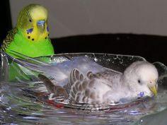 Parakeet taking a bath