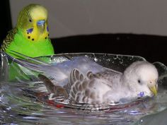 Parakeet taking a bath