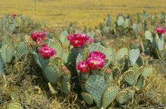 Opuntia basilaris - Google Search