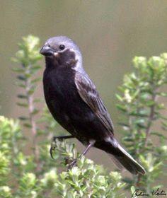 caboclinho de barriga preta__sporophila melanogaster Brazilian Birds: Thraupidae (parte 5 coleiros e caboclinhos)