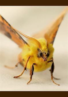 fluffy yellow moth | Recent Photos The Commons Getty Collection Galleries World Map App ...
