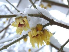 Chimonanthus praecox - Wintersweet surround yourself with wintry wonders!
